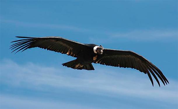 kondor-biodiversitaet-peru